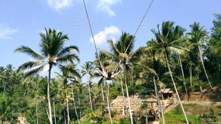 自然,ブランコ,景色,旅行,旅,海外旅行,インドネシア,バリ,ココナッツツリー,バリスウィング
