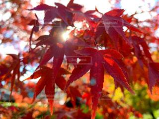 秋,紅葉,京都,赤,観光,旅行,日本,嵐山,天龍寺,フォトジェニック