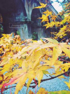 自然,橋,紅葉,京都,黄色,もみじ,レンガ,アーチ,12月,モミジ,南禅寺水路閣