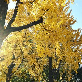 自然,公園,大阪,黄色,樹木,イチョウ,11月,イチョウ並木,浪速区