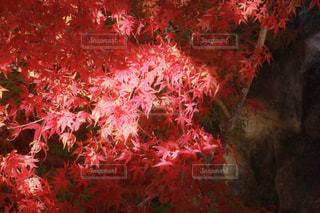 秋,紅葉,京都,観光,草木,11月