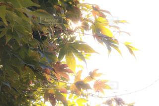 秋,紅葉,京都,もみじ,季節,観光,草木,11月