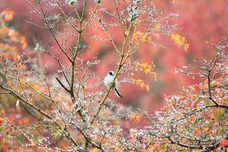 自然,秋,紅葉,鳥,早朝,奈良公園,奈良県,エナガ,11月,モミジ,色・表現