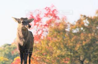 自然,秋,紅葉,鹿,Autumn,奈良公園,奈良県,11月,奈良市,モミジ