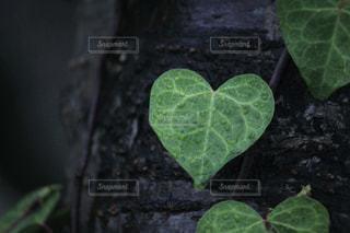雨,植物,水滴,葉,ハート,雨上がり,雫,しずく,ボタニカル