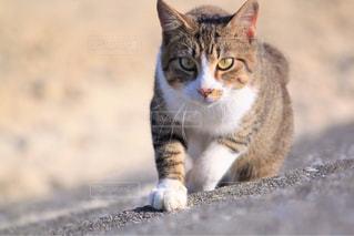 猫,動物,かわいい,砂浜,ペット,人物,cat,島猫,キティ,ネコ