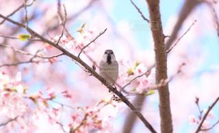 風景,花,春,桜,動物,鳥,木,青空,葉,花見,鮮やか,お花見,休憩,イベント,雀,野鳥,天気,スズメ