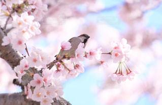 花,春,桜,鳥,木,ピンク,青空,花見,鮮やか,満開,お花見,イベント,すずめ,草木,桜の花,スズメ,ブロッサム