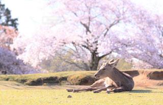 花,春,桜,動物,木,屋外,ピンク,花見,景色,樹木,お花見,イベント,鹿,のんびり,天気,チェリーブロッサム