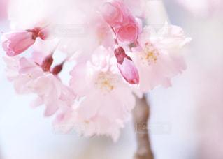 花,春,桜,木,ピンク,花見,花びら,お花見,イベント,チェリーブロッサム,さくら,ブロッサム