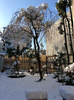 冬,雪,屋外,白,樹木,たぬき,日中,枝垂れさくら