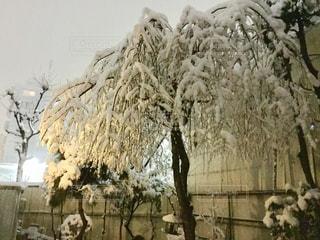 冬,雪,屋外,樹木,枝垂れ桜,さくら,枝垂れさくら,雪さくら