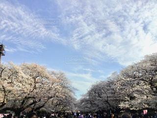 桜とそらの写真・画像素材[1959537]