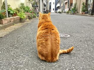 猫,動物,屋外,道,後姿,野良猫,地面