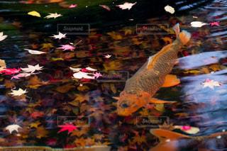 落ち葉の池の中で泳ぐ鯉の写真・画像素材[1640701]