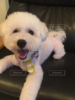 ソファーでくつろいでいる小さな白い犬の写真・画像素材[1589000]