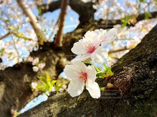 花,桜,未来,夢,成長,ポジティブ,目標,可能性,一歩,芽吹