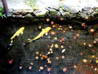 鯉と紅葉の写真・画像素材[1599057]