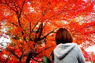 見上げる紅葉の写真・画像素材[1611600]