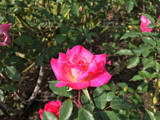 花,ピンク,赤,綺麗,バラ,鮮やか,薔薇,美しい,未来,赤いバラ,バラ園,rose,夢,人生,ポジティブ,生命力,目標,可能性,バラ色の人生