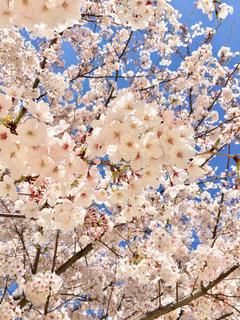 空,花,春,桜,ピンク,綺麗,青空,花見,花びら,美しい,樹木,ピンクの花,お花見,可愛い,桜の花,さくら,ブルーム,ブロッサム