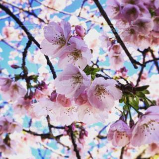 空,桜,東京,ピンク,お花見,明るい
