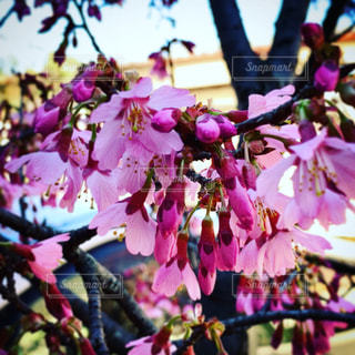春,桜,東京,ピンク,樹木,カラー
