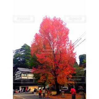 秋,紅葉,赤,もみじ,旅行,広島,宮島,厳島神社,色,もみじ狩りツアー,紅葉ツアー