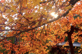 秋,紅葉,黄色,もみじ,木漏れ日,オレンジ,旅行,広島,宮島,厳島神社,色,インスタ映え,もみじ狩りツアー,紅葉ツアー