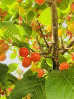 春,桜,木,デザート,フルーツ,さくらんぼ,新鮮,チェリー