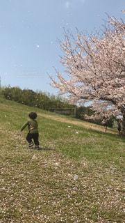 公園,春,桜,晴れ,青空,躍動感,子供,お花見,桜吹雪,男の子,2歳