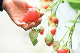 赤,いちご,苺,フルーツ,写真,可愛い,甘い,イチゴ狩り