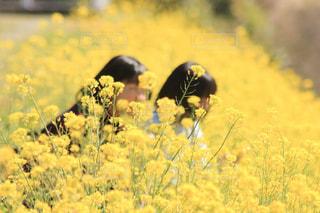 フィールド内の黄色の花の写真・画像素材[1825434]