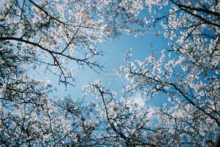 大きな木の写真・画像素材[4337783]