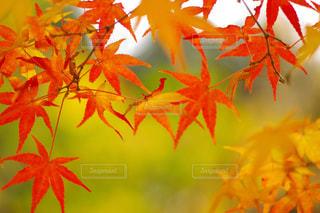 黄色と赤と緑の写真・画像素材[1629608]