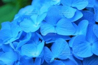 青色のあじさいの写真・画像素材[3389320]