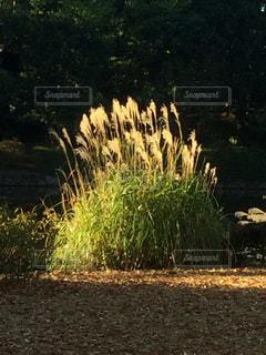 秋,屋外,枯れ葉,日差し,草,ススキ,草木,北の丸,芒,深秋