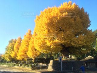 秋,紅葉,日差し,イチョウ,銀杏,銀杏並木,イチョウ並木,北の丸,深秋