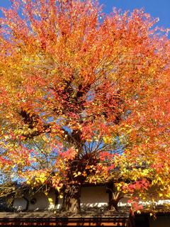 秋,紅葉,オレンジ,旅行,岡山,倉敷,美観地区