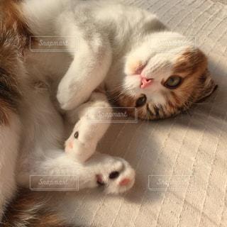 白い面の上に横たわる猫の写真・画像素材[1622296]