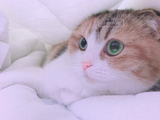 白い毛布の上に座っている猫の写真・画像素材[1657330]