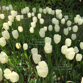 花,屋外,白,チューリップ,鮮やか,癒し,明るい,ホワイト,草木