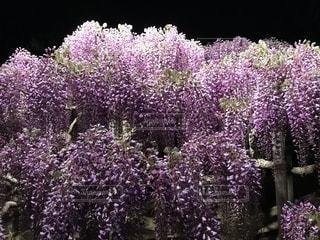 植物の紫色の花の写真・画像素材[1685389]