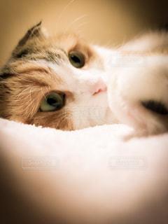 横になって、カメラを見ている猫の写真・画像素材[1685482]
