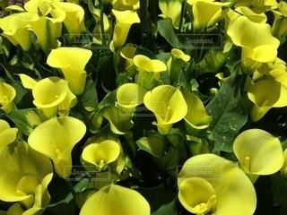 艶やかな黄色の写真・画像素材[1824691]