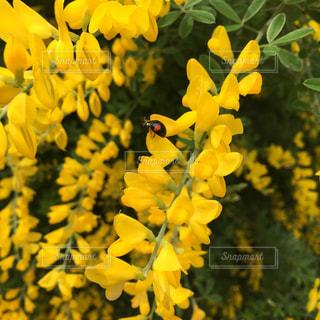 黄色の花の束の写真・画像素材[1824705]