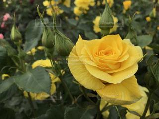 近くの花のアップの写真・画像素材[1824718]