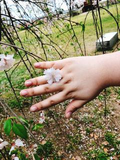 花,桜,指輪,野外
