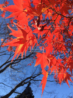 近くにオレンジの木のアップの写真・画像素材[1599051]
