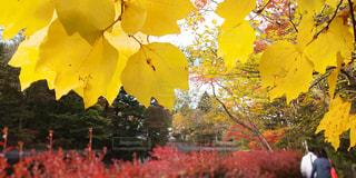 こっそり覗く、秋の雲場池の写真・画像素材[1599451]